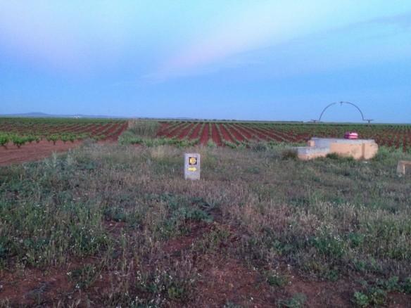 ブドウ畑の朝