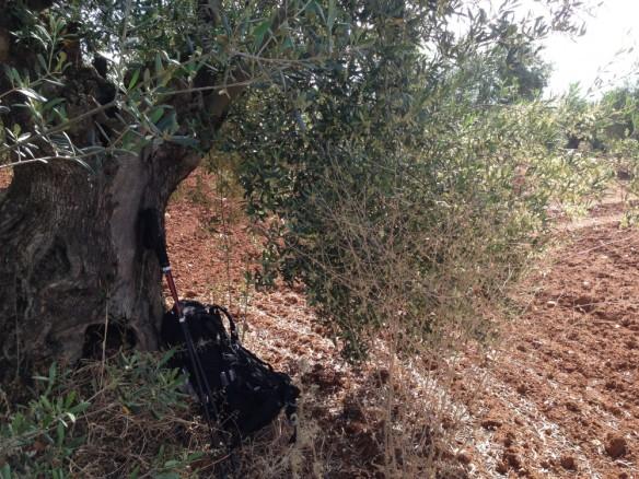 オリーブの木陰