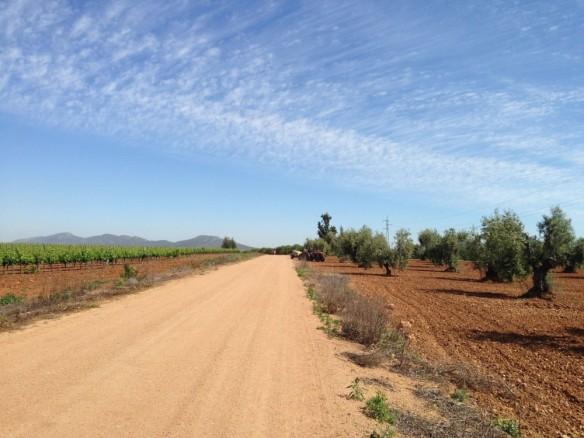 左にブドウ畑、右にオリーブ畑